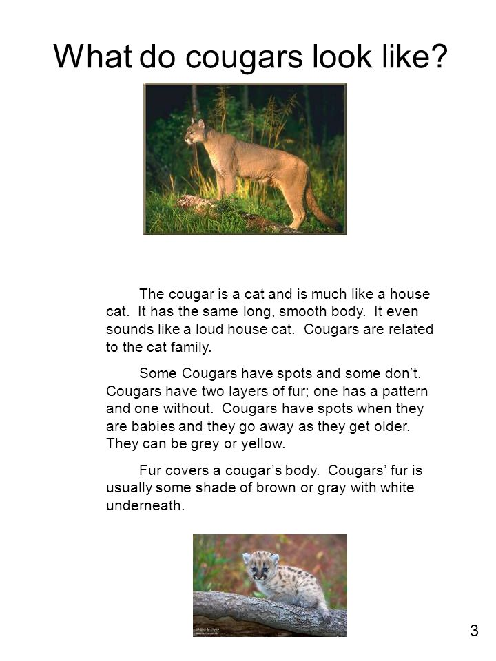 What do cougars look like