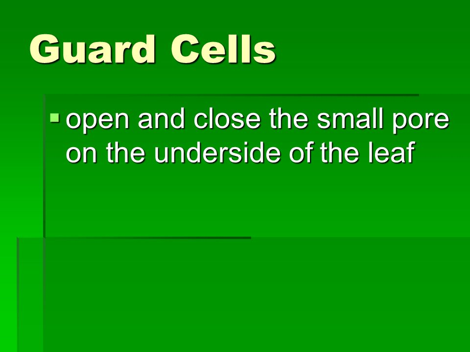 Guard Cells open and close the small pore on the underside of the leaf