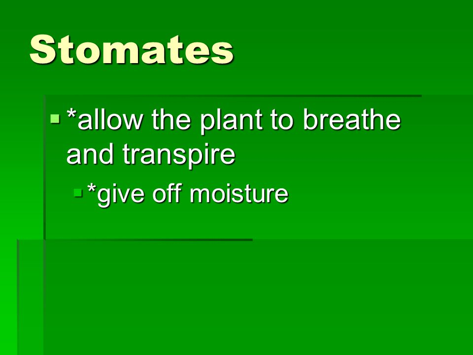 Stomates *allow the plant to breathe and transpire *give off moisture