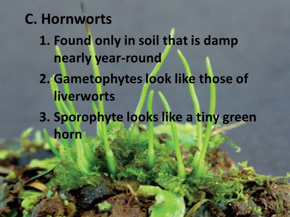 C. Hornworts Found only in soil that is damp nearly year-round