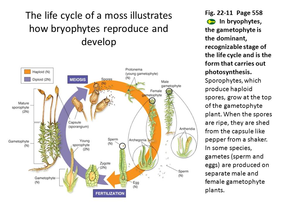 The life cycle of a moss illustrates how bryophytes reproduce and develop