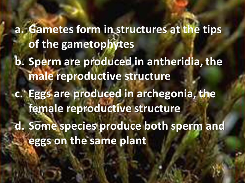 Gametes form in structures at the tips of the gametophytes