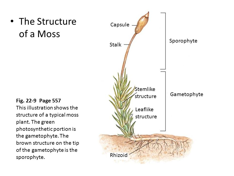 The Structure of a Moss Capsule Sporophyte Stalk Stemlike structure