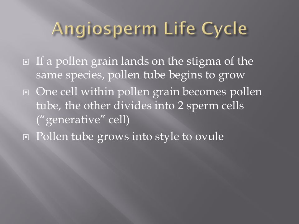 Angiosperm Life Cycle If a pollen grain lands on the stigma of the same species, pollen tube begins to grow.