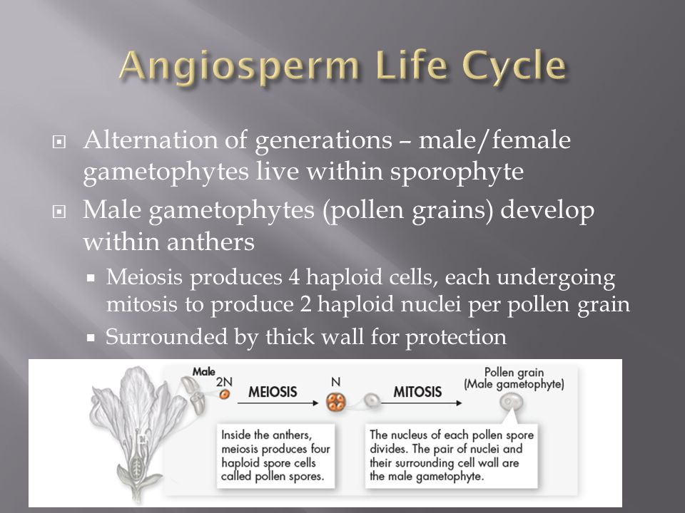 Angiosperm Life Cycle Alternation of generations – male/female gametophytes live within sporophyte.