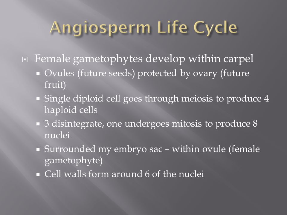 Angiosperm Life Cycle Female gametophytes develop within carpel