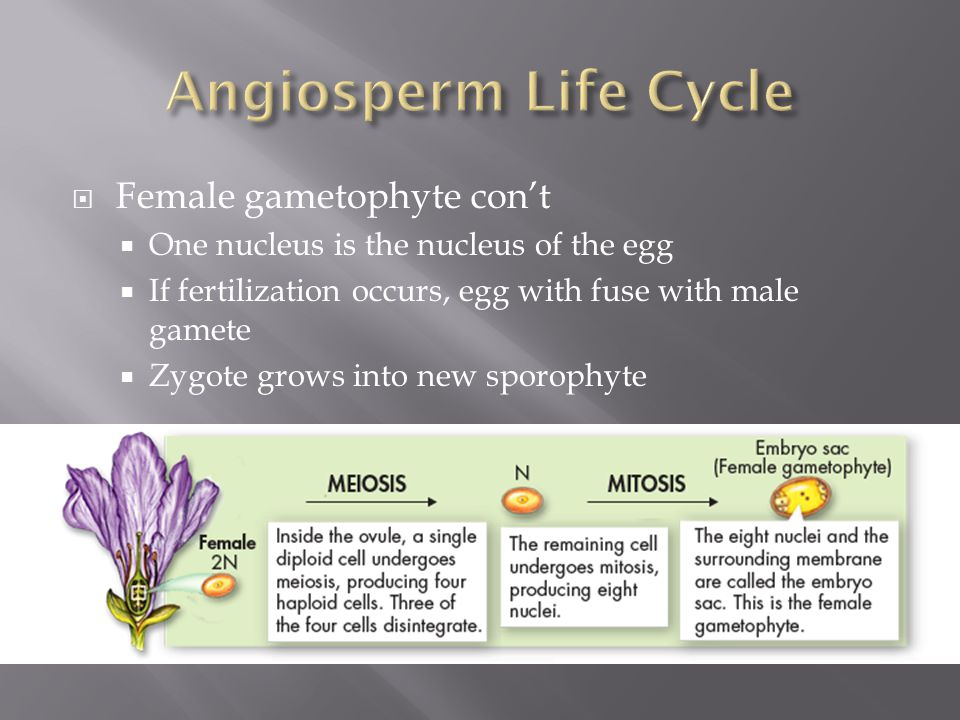 Angiosperm Life Cycle Female gametophyte con't