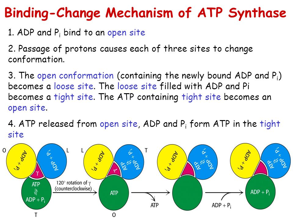 Binding-Change Mechanism of ATP Synthase
