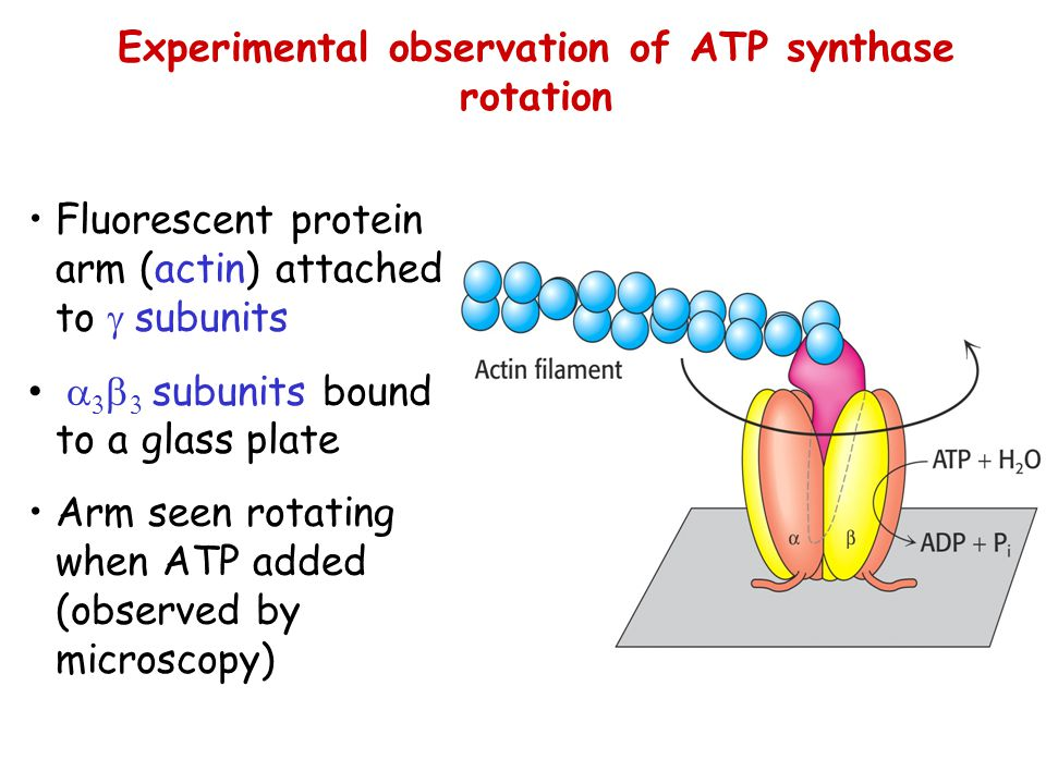 Experimental observation of ATP synthase rotation