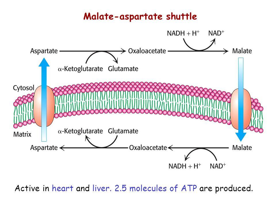 14 Malate-aspartate shuttle