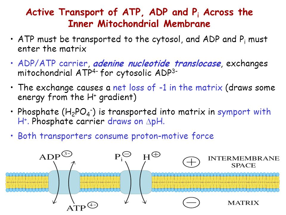 Active Transport of ATP, ADP and Pi Across the Inner Mitochondrial Membrane