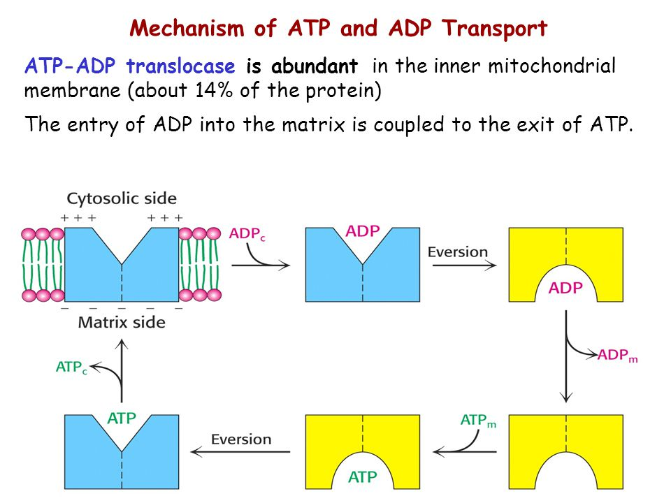 Mechanism of ATP and ADP Transport