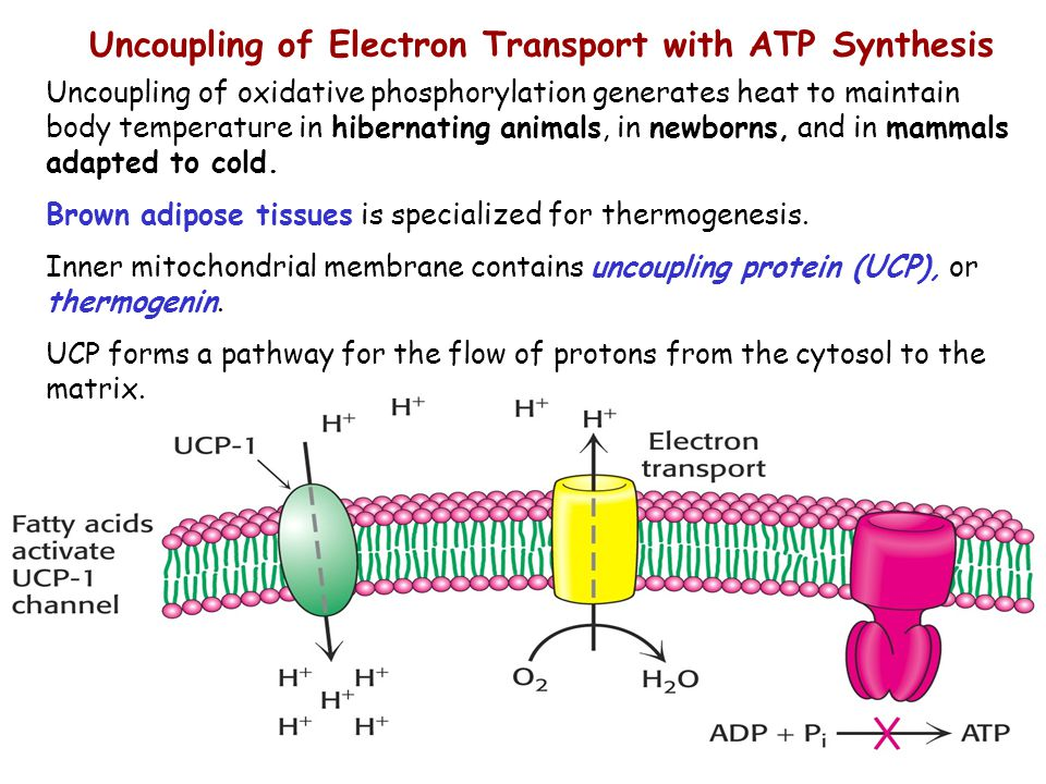 20 Uncoupling of Electron Transport with ATP Synthesis