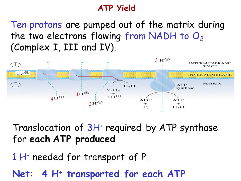 Translocation of 3H+ required by ATP synthase for each ATP produced