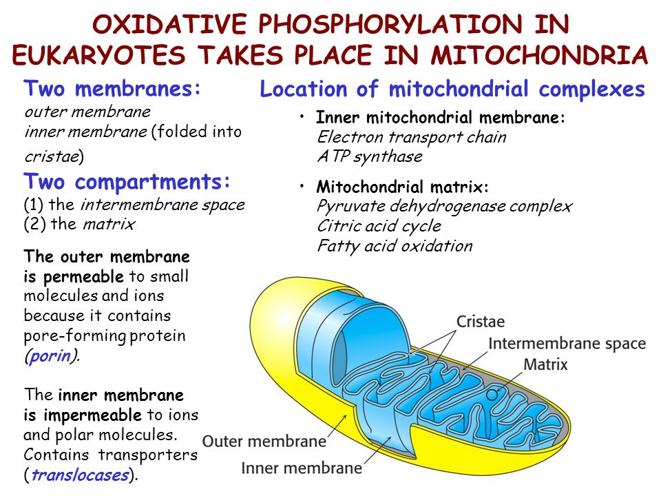 OXIDATIVE PHOSPHORYLATION IN EUKARYOTES TAKES PLACE IN MITOCHONDRIA