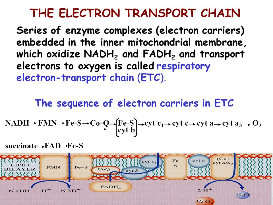The sequence of electron carriers in ETC