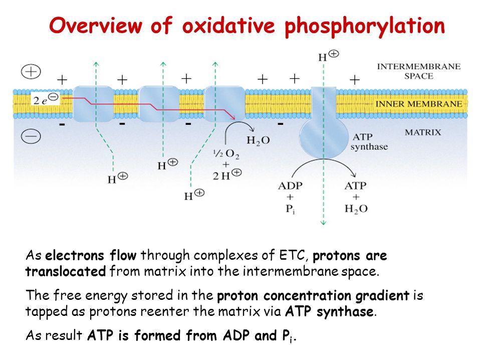 Overview of oxidative phosphorylation