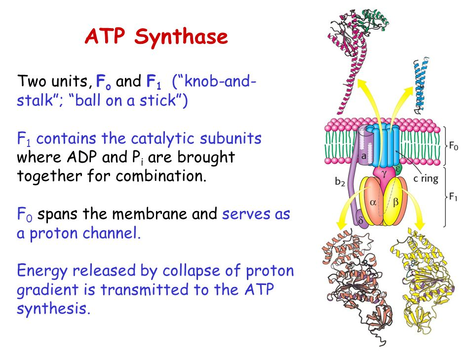 ATP Synthase Two units, Fo and F1 ( knob-and-stalk ; ball on a stick )