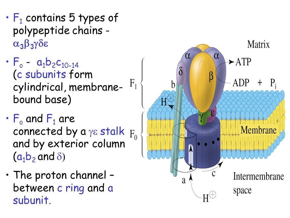 F1 contains 5 types of polypeptide chains - a3b3gde