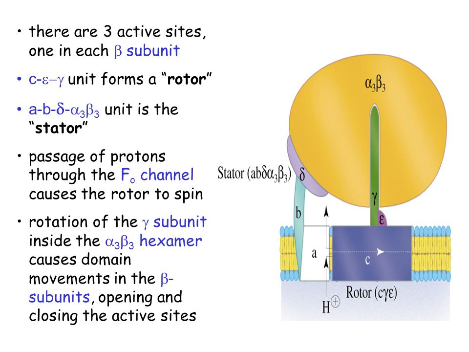 there are 3 active sites, one in each b subunit