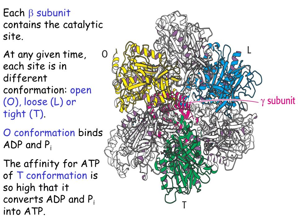 Each b subunit contains the catalytic site.