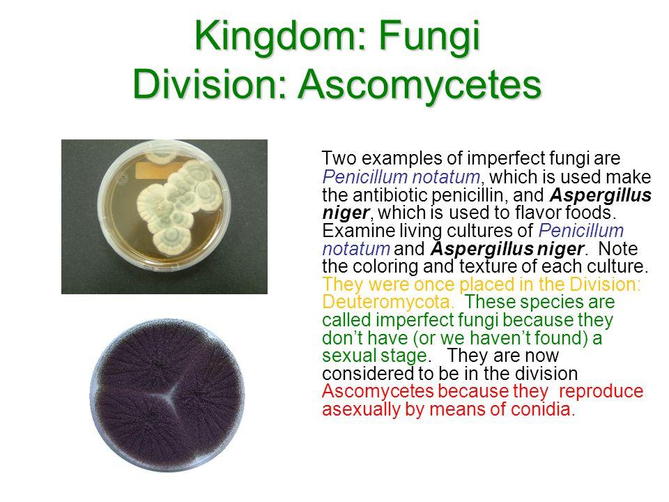 Kingdom: Fungi Division: Ascomycetes
