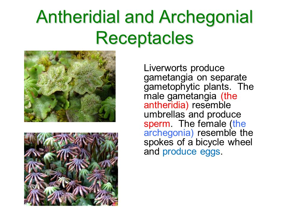 Antheridial and Archegonial Receptacles