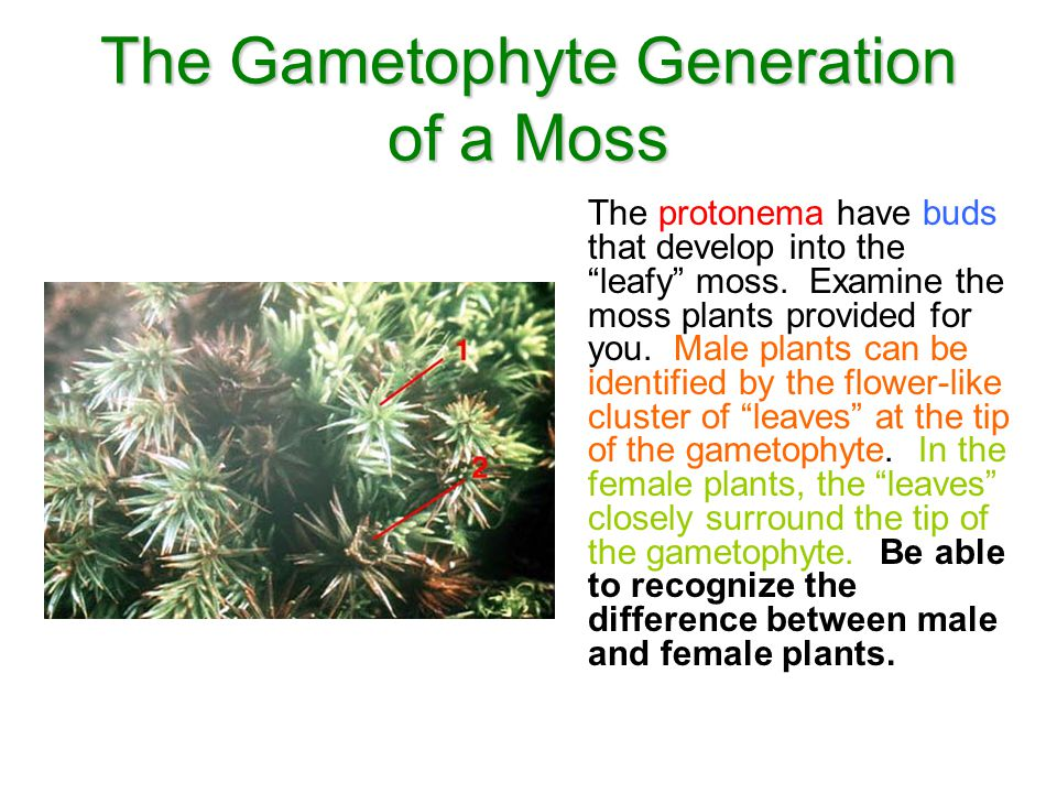 The Gametophyte Generation of a Moss