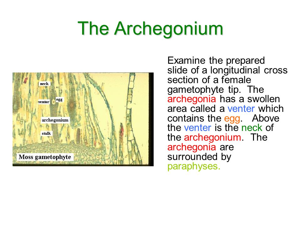 The Archegonium
