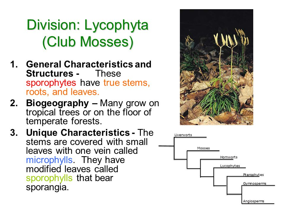 Division: Lycophyta (Club Mosses)