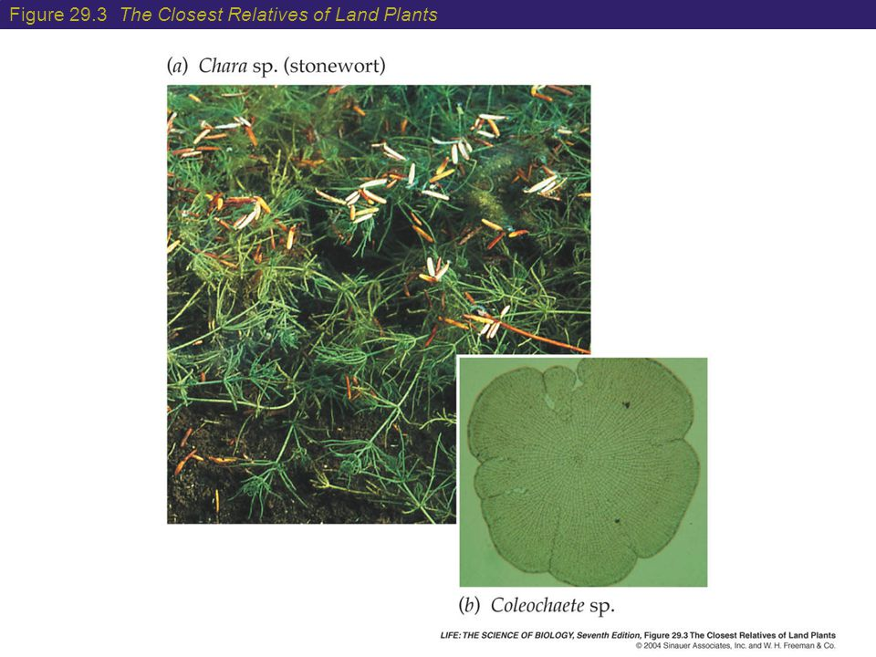 Figure 29.3 The Closest Relatives of Land Plants
