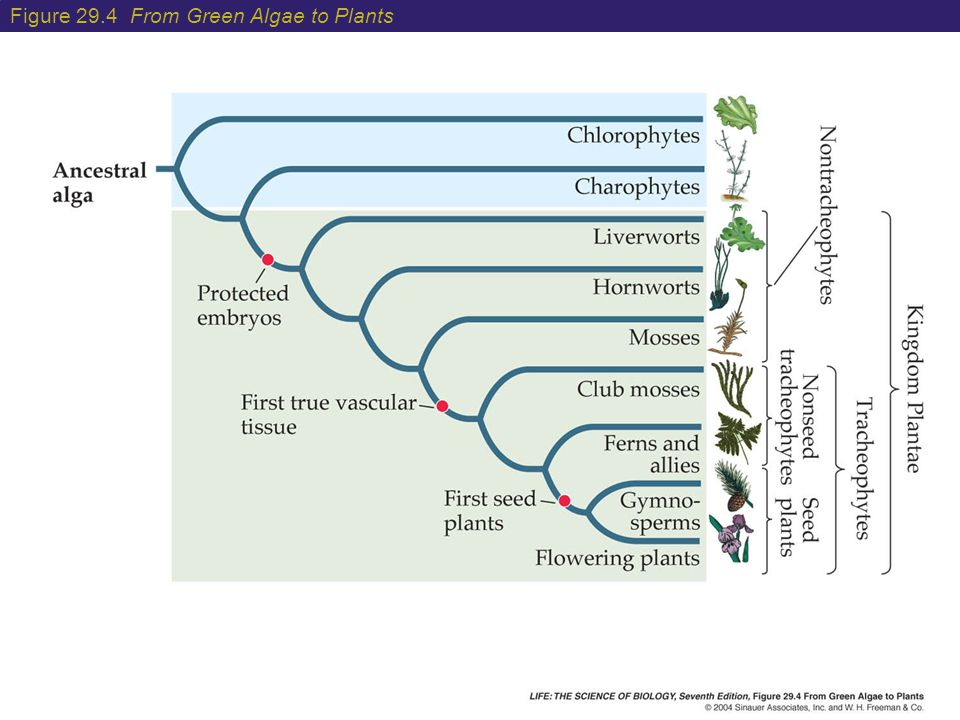 Figure 29.4 From Green Algae to Plants