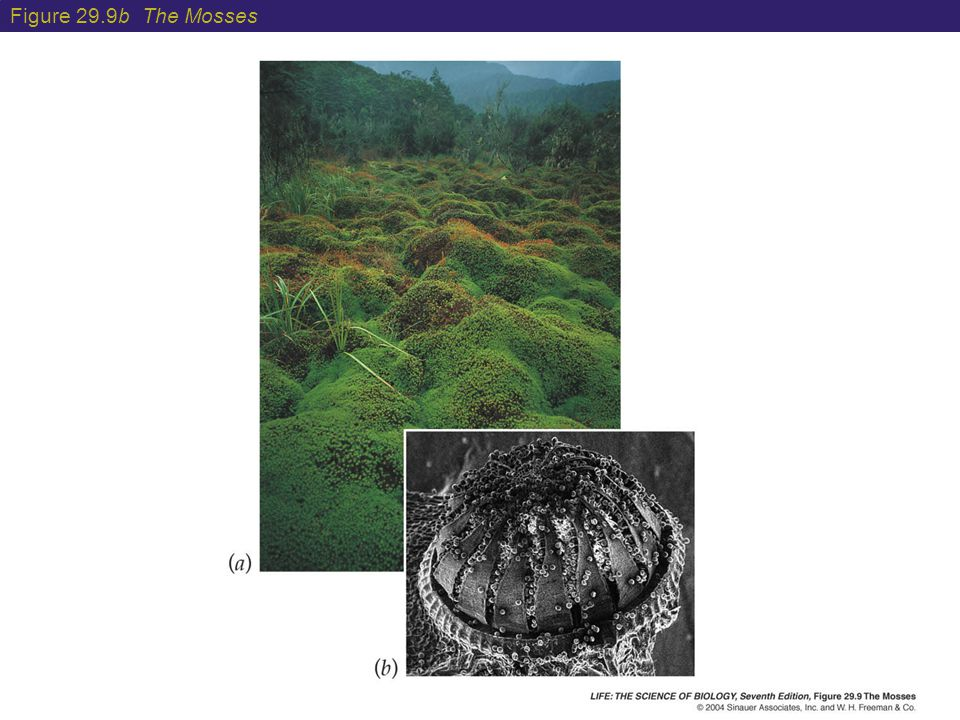 Figure 29.9b The Mosses