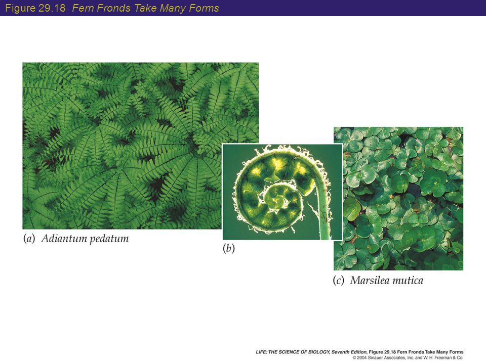 Figure 29.18 Fern Fronds Take Many Forms