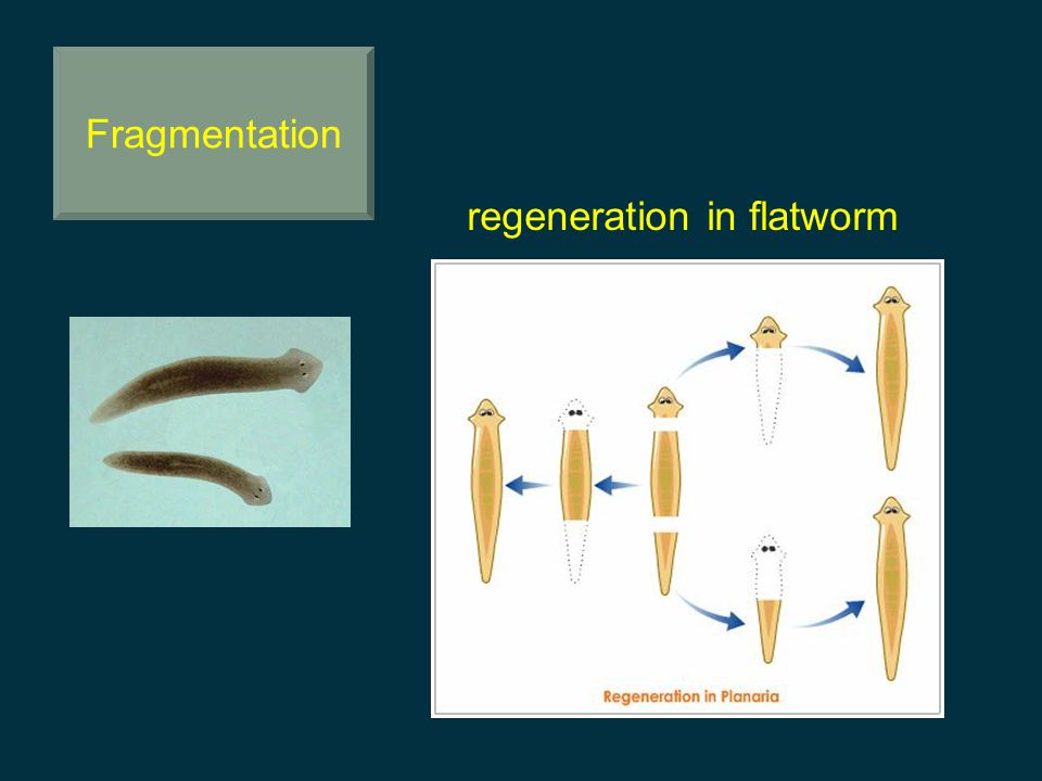 regeneration in flatworm