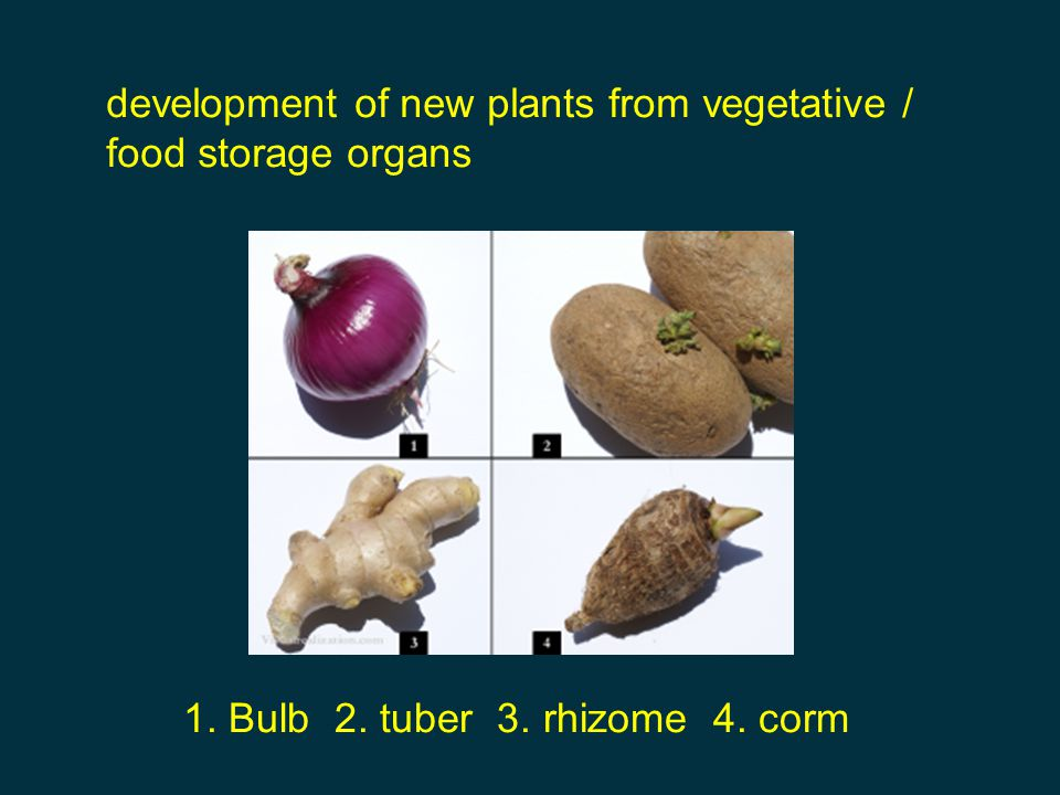 development of new plants from vegetative / food storage organs