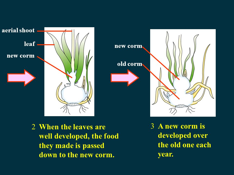 A new corm is developed over the old one each year.