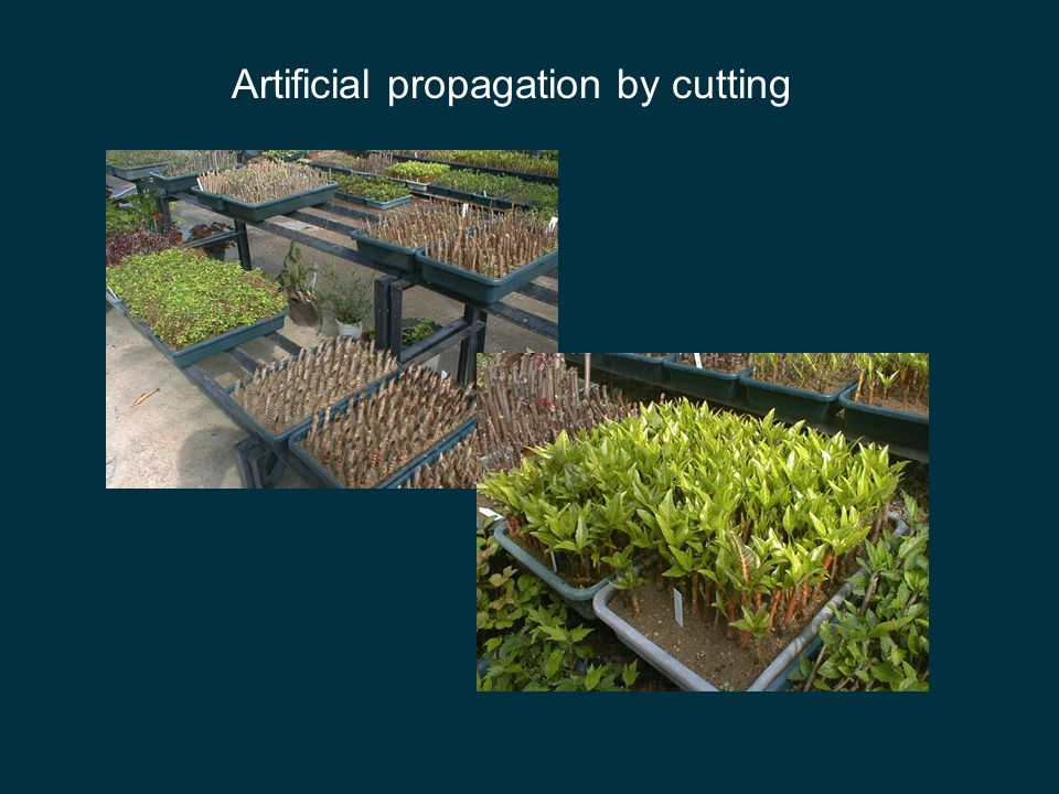 Artificial propagation by cutting