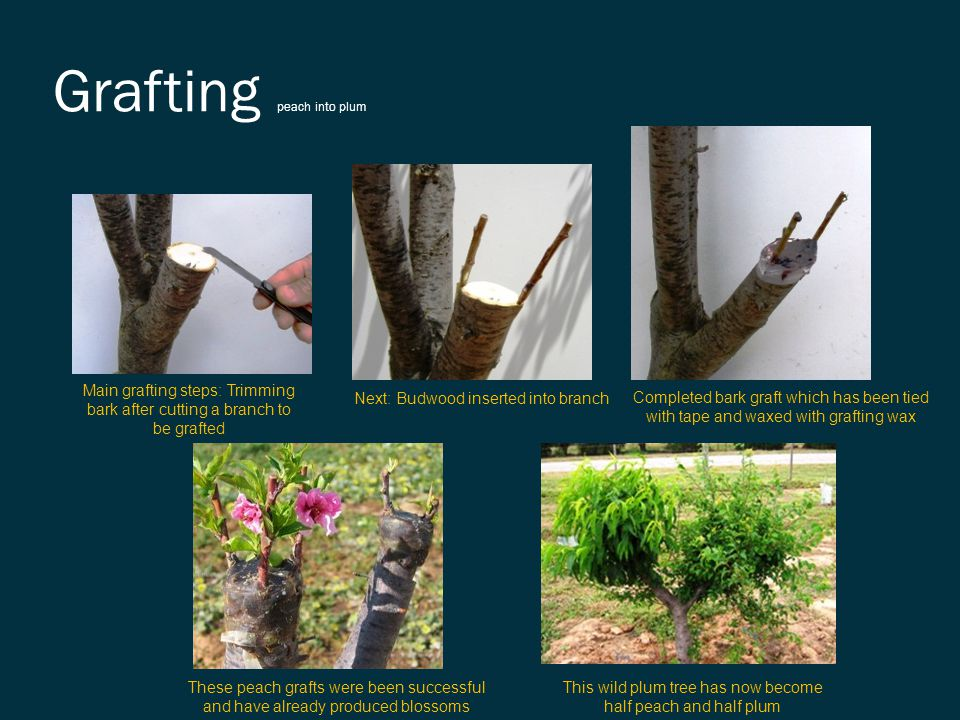 Grafting peach into plum