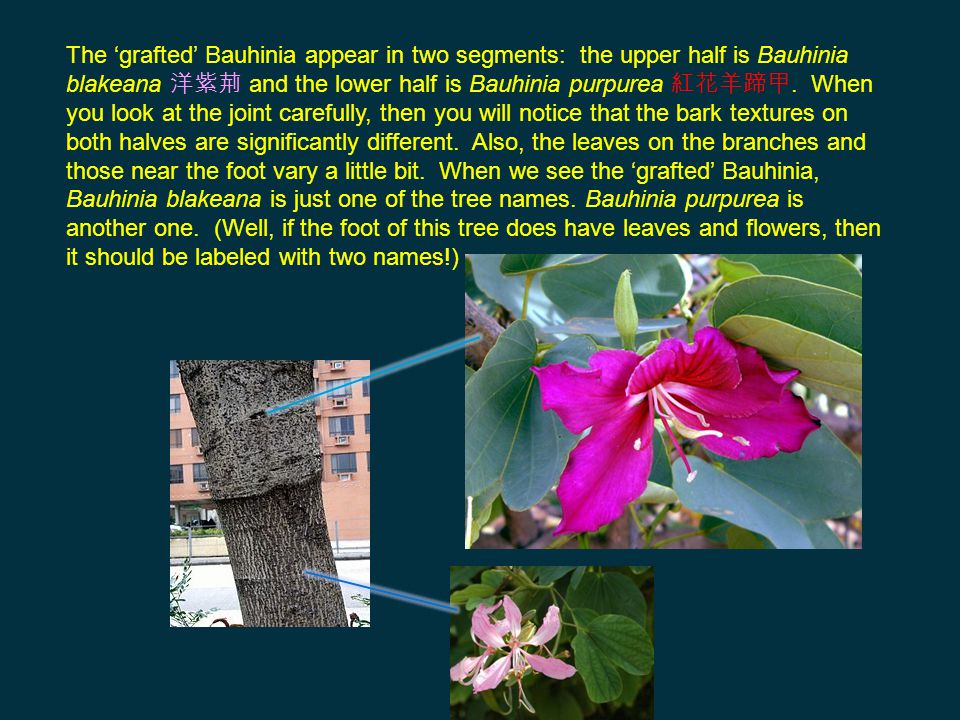 The 'grafted' Bauhinia appear in two segments: the upper half is Bauhinia blakeana 洋紫荊 and the lower half is Bauhinia purpurea 紅花羊蹄甲. When you look at the joint carefully, then you will notice that the bark textures on both halves are significantly different. Also, the leaves on the branches and those near the foot vary a little bit. When we see the 'grafted' Bauhinia, Bauhinia blakeana is just one of the tree names. Bauhinia purpurea is another one. (Well, if the foot of this tree does have leaves and flowers, then it should be labeled with two names!)
