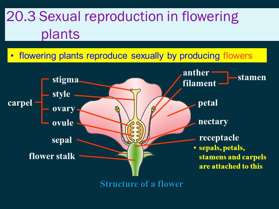 20.3 Sexual reproduction in flowering plants