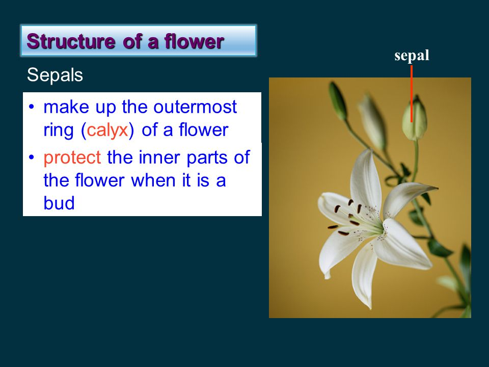 Structure of a flower Sepals