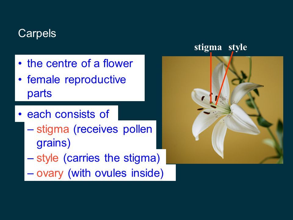 female reproductive parts