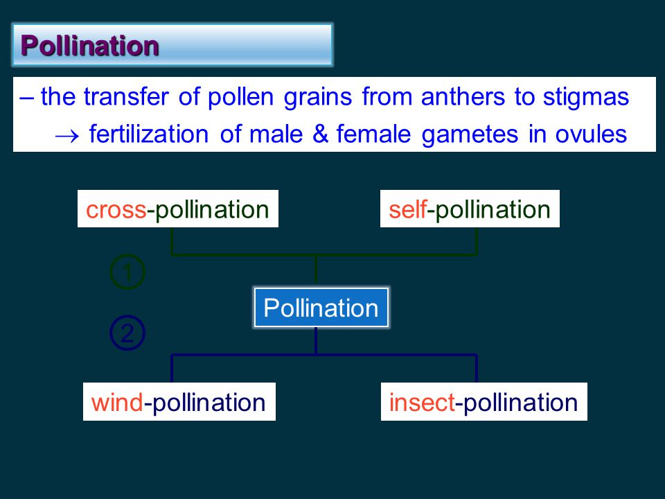 Pollination the transfer of pollen grains from anthers to stigmas