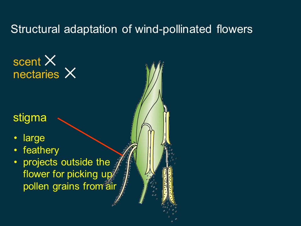 Structural adaptation of wind-pollinated flowers
