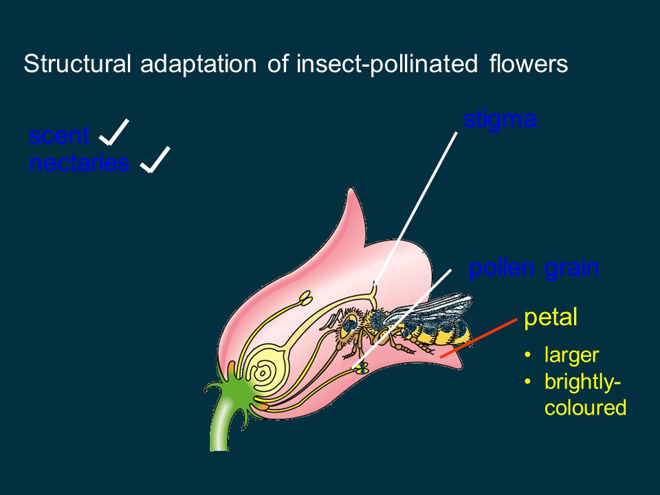 Structural adaptation of insect-pollinated flowers