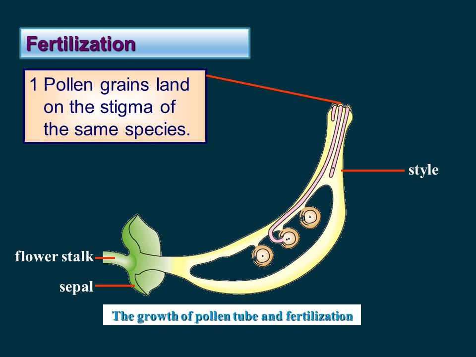 The growth of pollen tube and fertilization