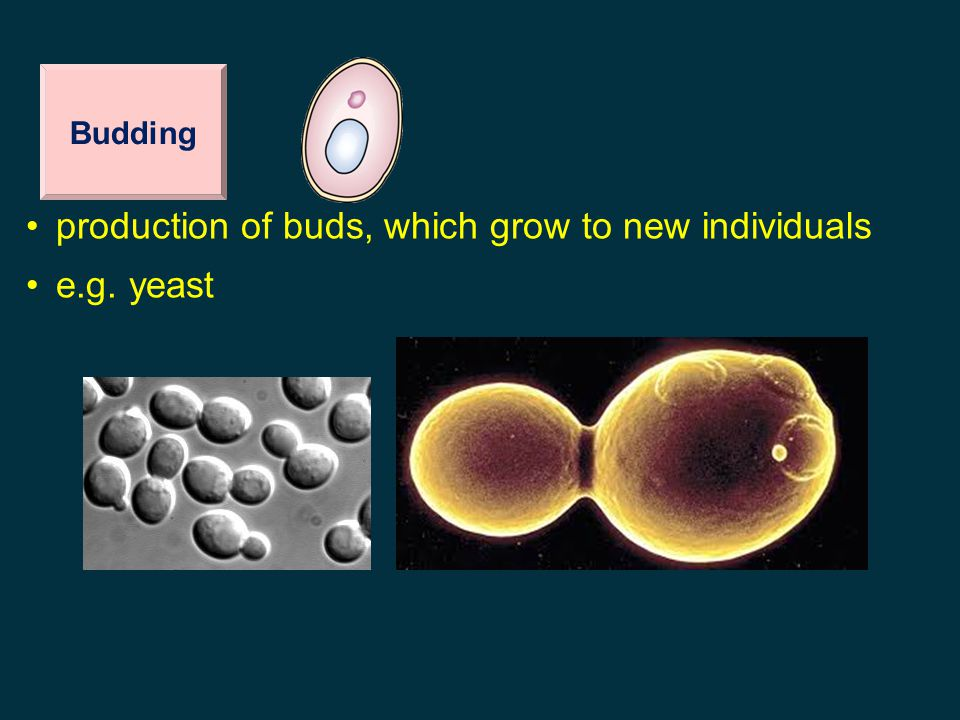 production of buds, which grow to new individuals e.g. yeast