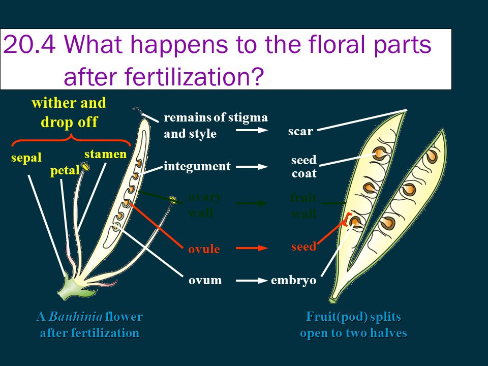 20.4 What happens to the floral parts after fertilization