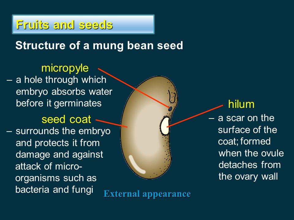 Fruits and seeds Structure of a mung bean seed micropyle hilum